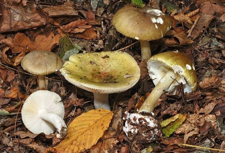 Russula virescens e Amanita phalloides, due specie di funghi molto simili