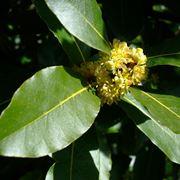 foglie di lauro