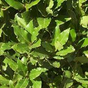 siepe verde di alloro