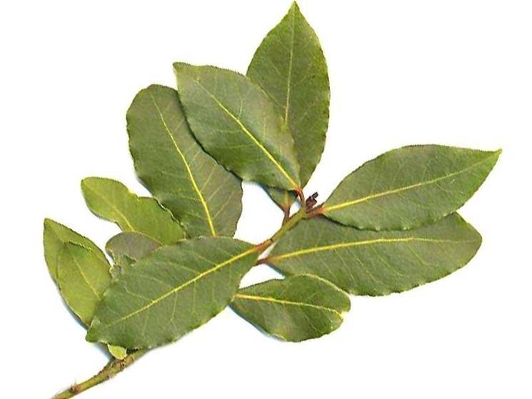 foglie di un ramo di alloro