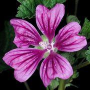Fiore di malva
