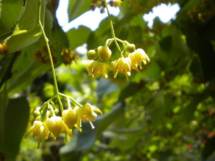 Fiore di tiglio