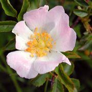 rosa canina coltivazione