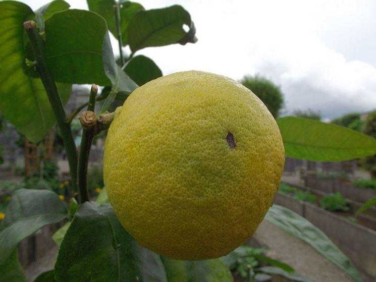 Un frutto di pompelmo