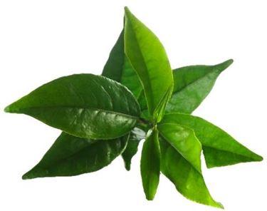 foglia tea