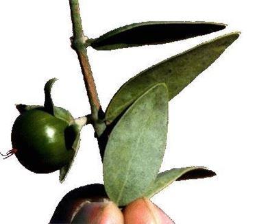 effetti benefici dell'olio di jojoba