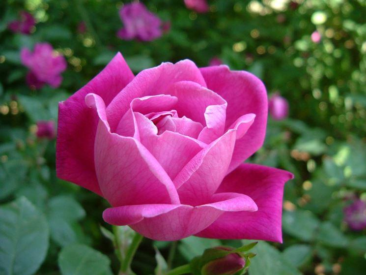 Esemplare di rosa