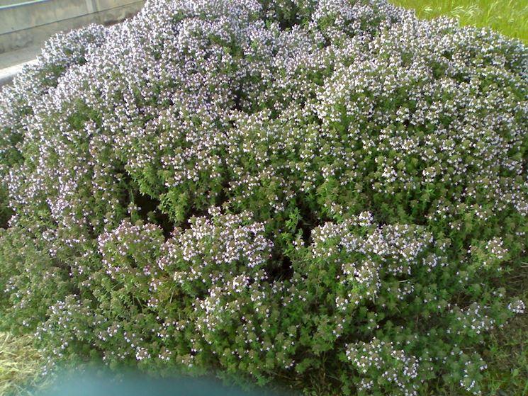 siepe di timo in fiore