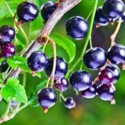 Pianta di Ribes Nigrum perfetto sostituto del cortisone