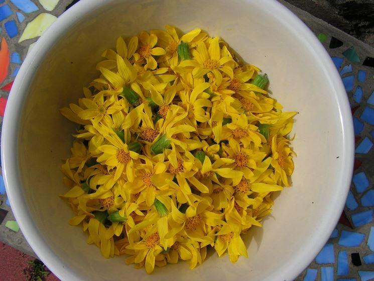 arnica fiori