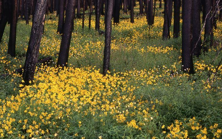 coltivazione di Arnica Montana