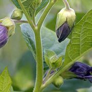 Pianta in fiore di Belladonna