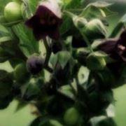 belladonna omeopatia