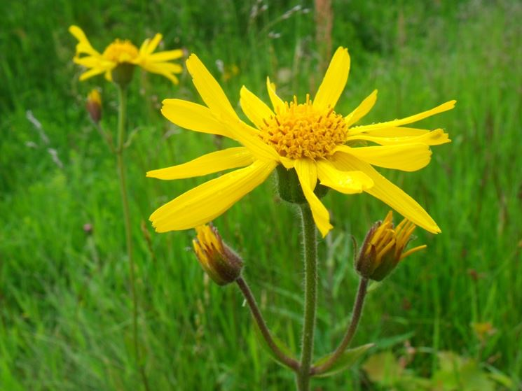 Fiore della Arnica Montana ottimo rimedio omeopatico contro i principi di aborto