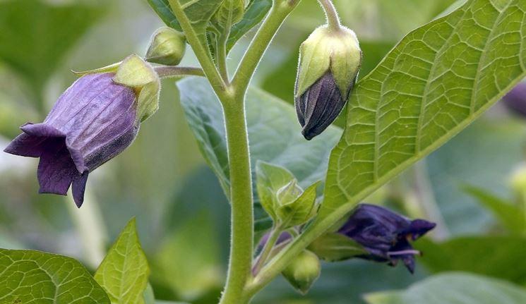 Fiore di Belladonna, pianta utile in caso di febbre durante la gravidanza