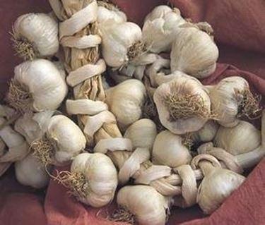 aglio di vassalico