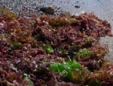 Alghe noori