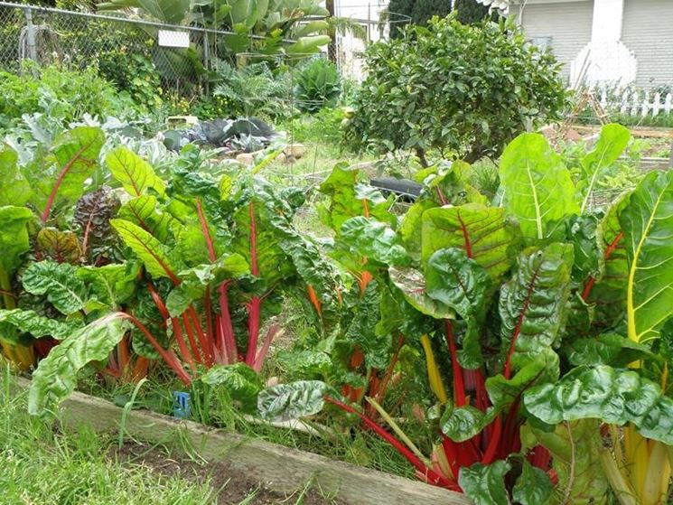 coltivazione bietola