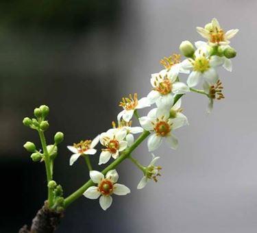 fiori boswellia