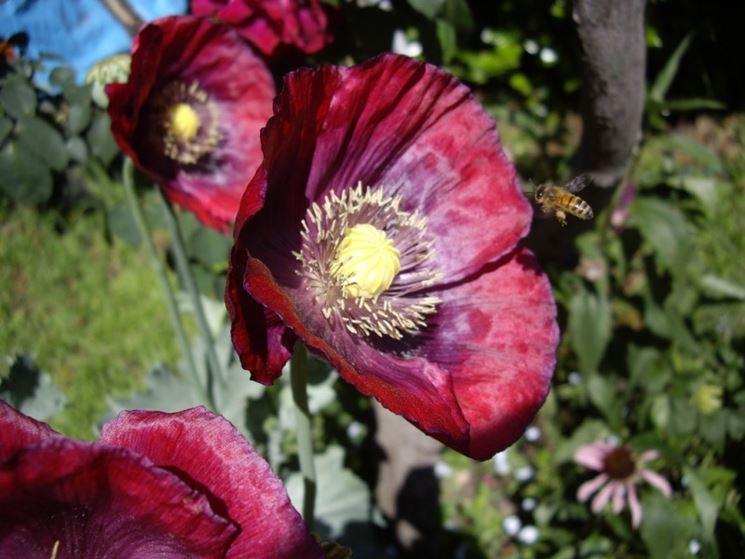 Fiore papavero oppio