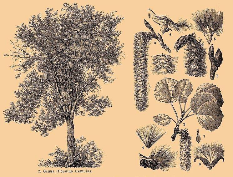 Illustrazione di Aspen con foglie, infiorescenze e gemme