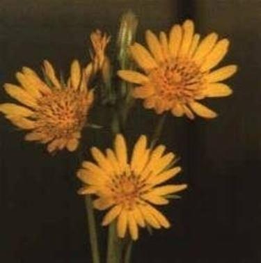 fiore barba di becco
