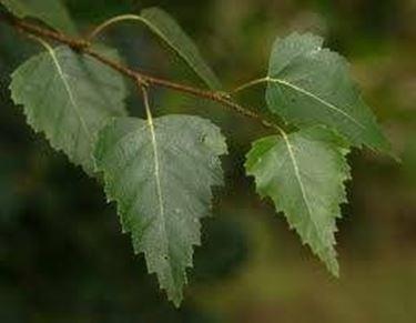 foglie betulla