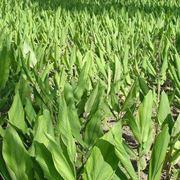 Una piantagione di curcuma longa
