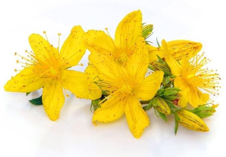Fiore d'iperico utilizzato per le corone