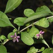 Una pianta di lycium chinense