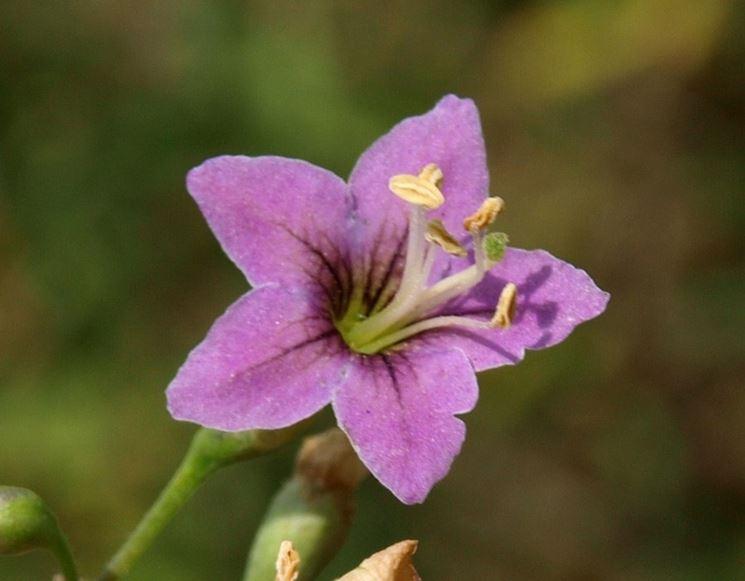 I tipici fiori del lycium chinense