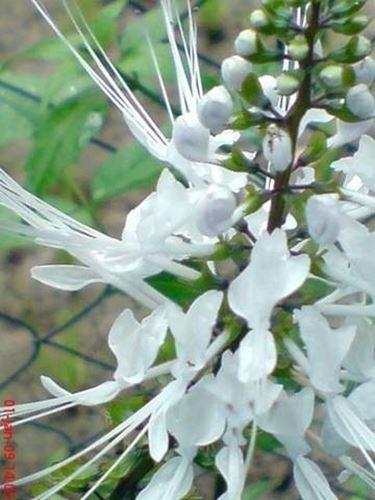 fiore ORTOSIPHON