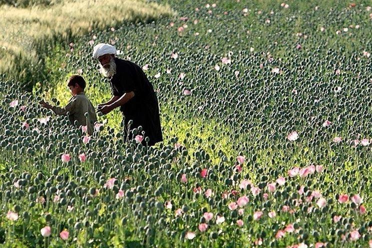 coltivazione di papavero da oppio