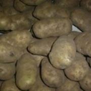 pianta della patata