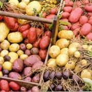 patata americana pianta