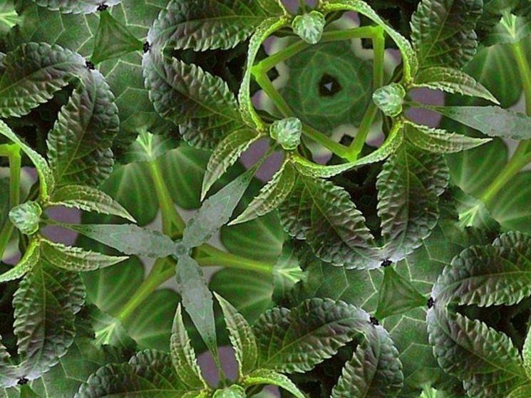 Immagine al caleidoscopio di Salvia Divinorum