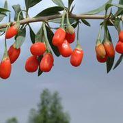 Fiore Lycium barbarum