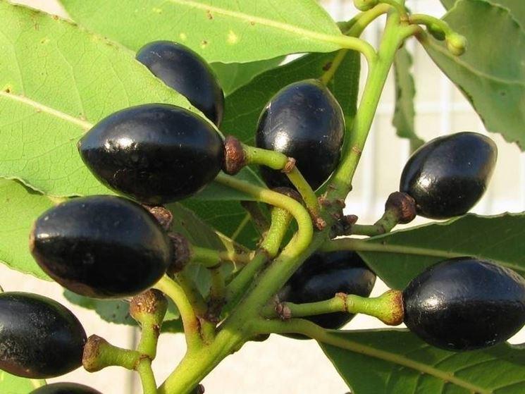 Bacche di alloro simili alle olive nella forma e nel colore