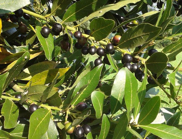 Pianta di alloro le cui foglie e bacche sono utilissimi rimedi naturali