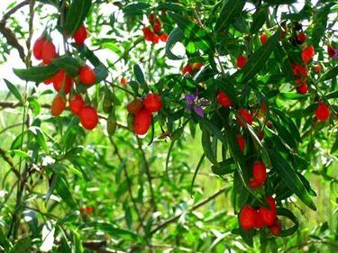 http://monarbrelorraine.blogspot.it/2011/01/les-baies-du-douairele-goji-culture-en.html
