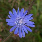 fiore cicoria