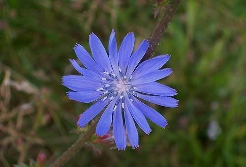 Risultati immagini per cicoria fiore