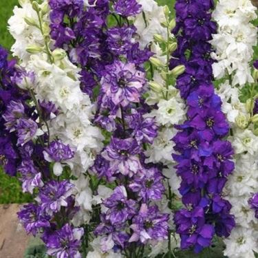 fiori consolida