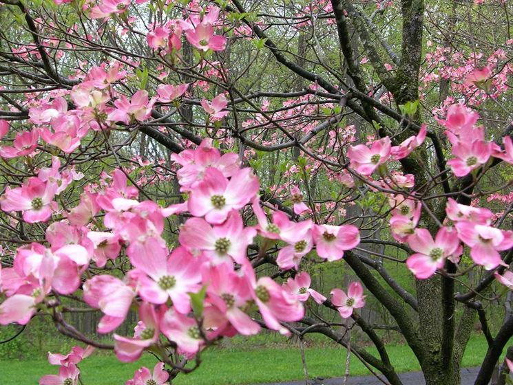 fiori corniolo