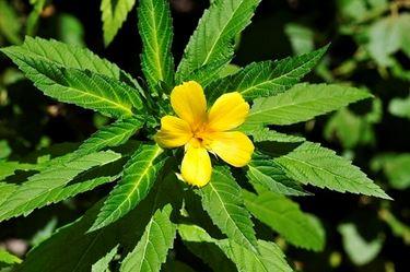 Damiana pianta, particolare fiore