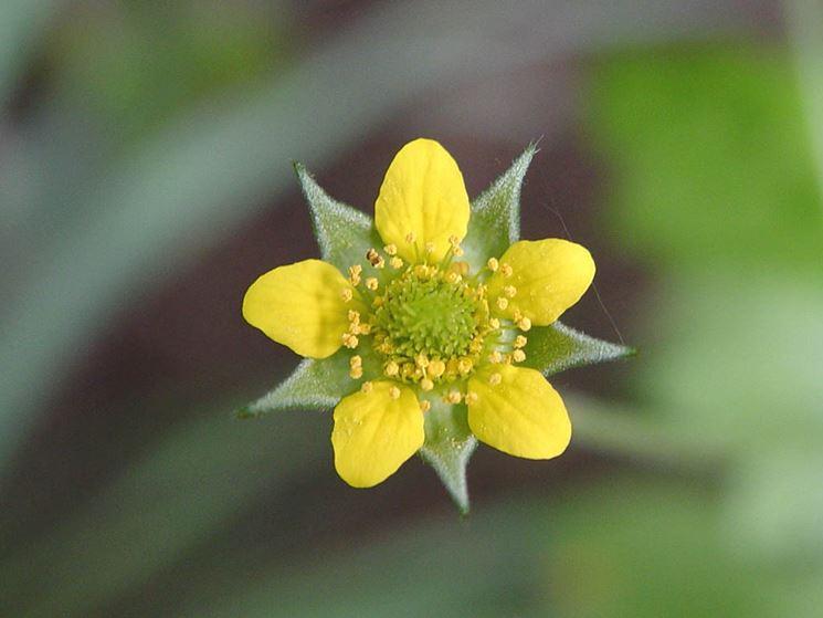 fiore Erba benedetta