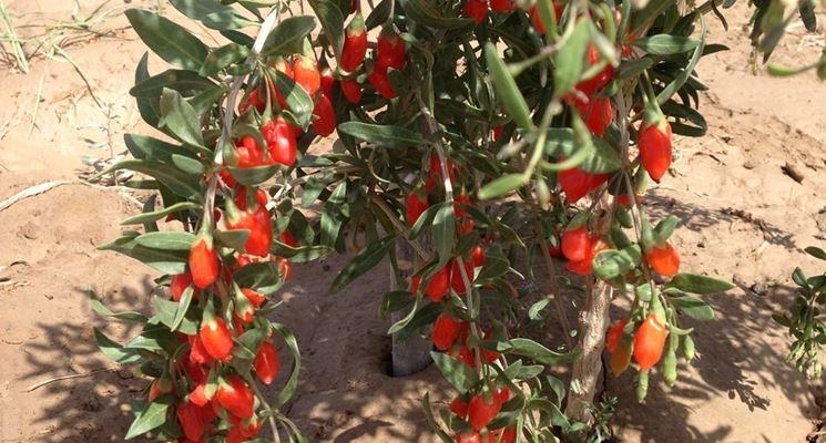 Pianta di bacca di Goji coltivata in proprio