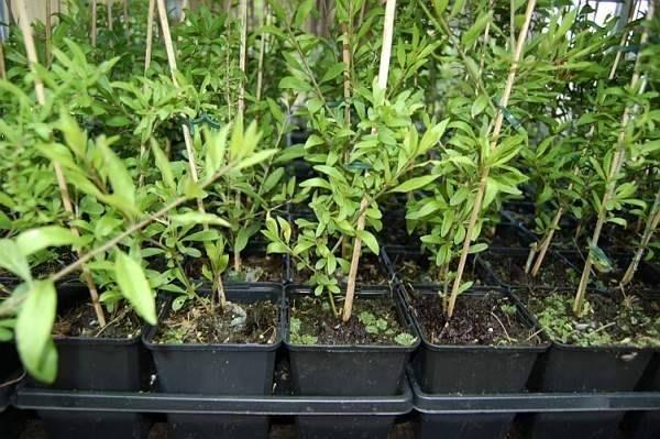 Goji coltivazione rimedi naturali coltivazione del goji for Coltivazione goji in vaso