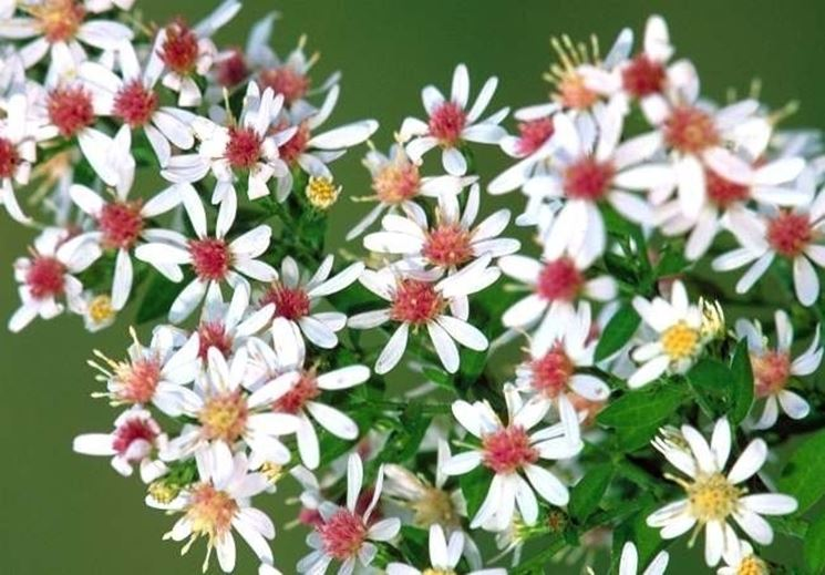 Fiore di Bach