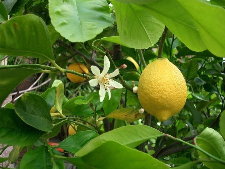 Frutto da cui si estrae il succo di bergamotto